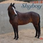 Photo of Shyboy the horse